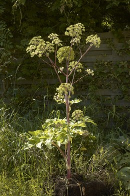 Angelica is another flower that resembles poison hemlock.