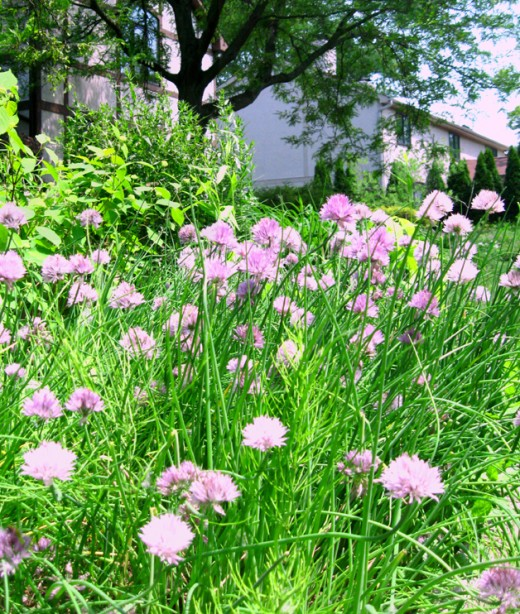 Chives' pretty lilac flowers are also edible.