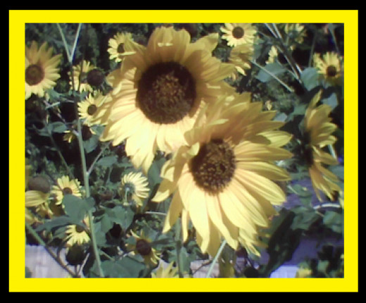 Sunflowers originated in the Americas around 3000 B.C. and was brought to Europe in the 1500's.