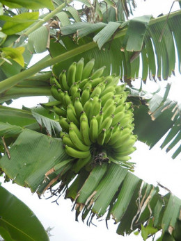 A banana bunch from our plantation