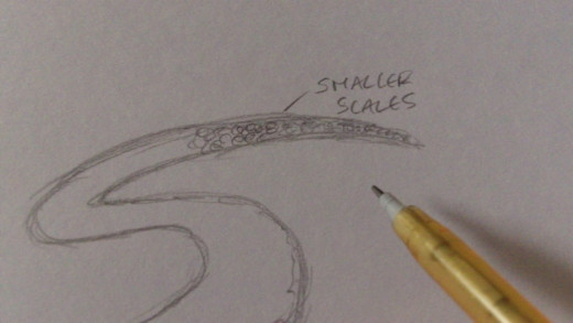 Then draw smaller scales at the thinner end.