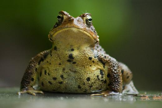 A smug toad