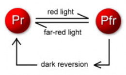 Red to Far-red  light conversion diagram
