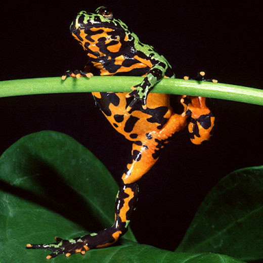 The fire bellied toad is not a 'true toad'