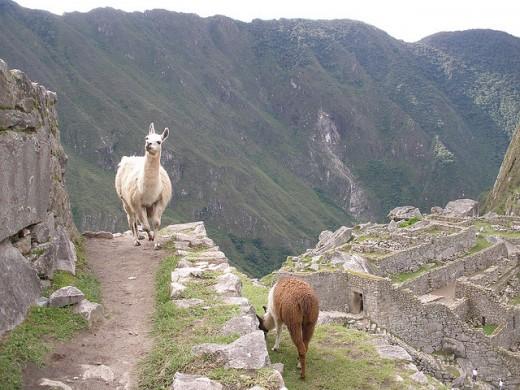 Shot of llamas at Machu Picchut.