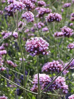 Verbena some varieties like this one are tall plants.