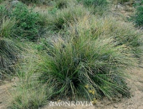 Beargrass (Nolina microcarpa) is a drought-tolerant plant