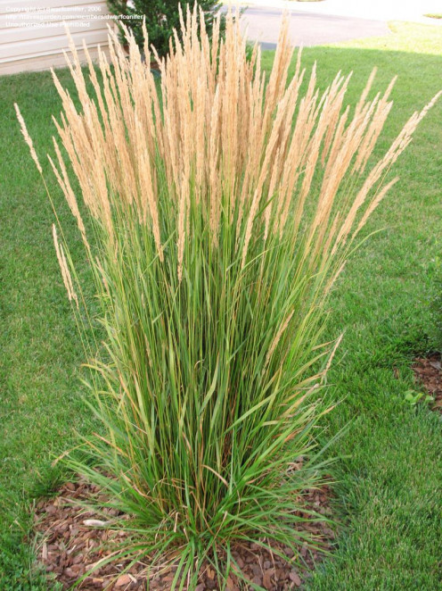 Feather Reed, an ornamental grass