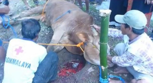In Eid Ul Adha celebration, the cow was slaughtered as Qurban .