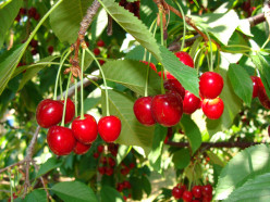 Dark red cherries such as these are sweet cherries.  Tart cherries are bright red in color.