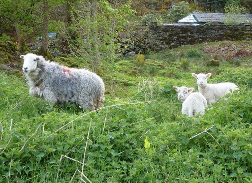 The hardy Cumbrian Sheep