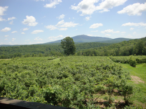 A blueberry farm with a spectacular view