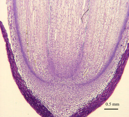 Cross Section of Root Tip