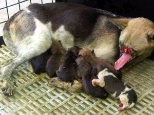 Kabang, nursing her puppies.