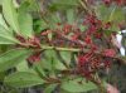 Some Maytenus Berries
