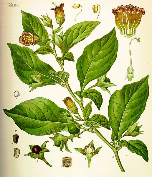 Belladonna Atropa is the poisonous nightshade of Europe.