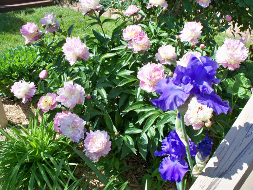 Peony and Purple Iris