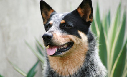A dog named Blue.