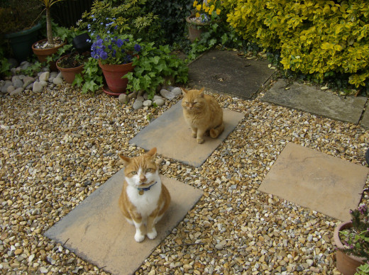 Two ginger cats in a garden