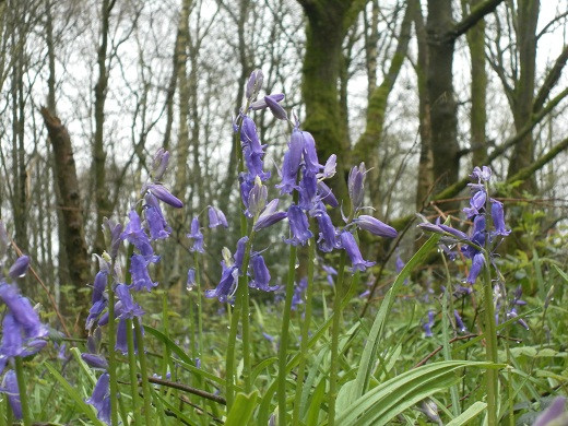English bluebell wood - Hagg  Wood near Burnley, Lancashire