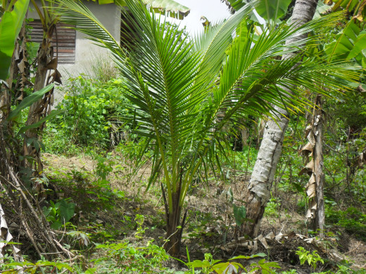 A young coconut tree near an old one.
