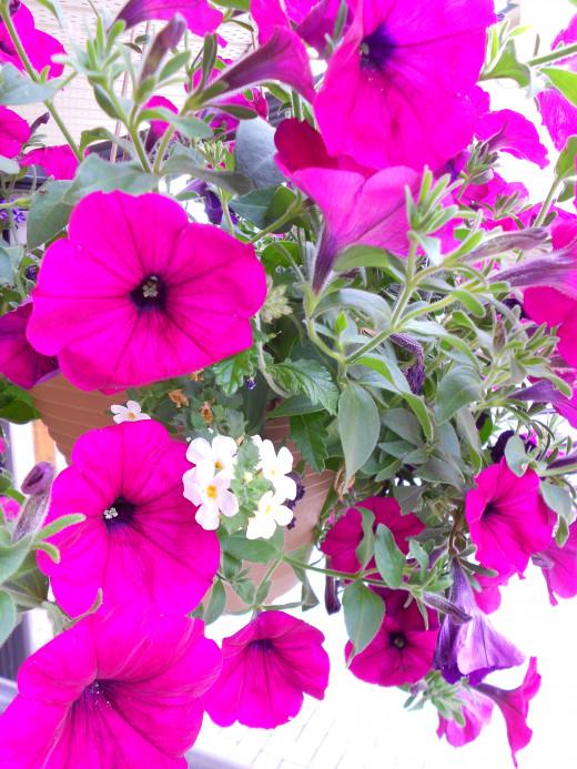 Cascading petunia's