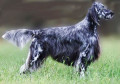 English Setter Dog Breed Facts and English Setter Information