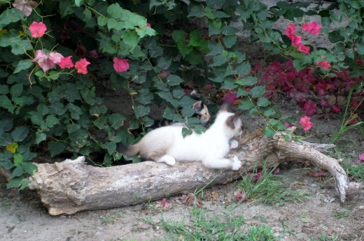 Smudge and Calico Katie peek out from beneath the Bougainvillea