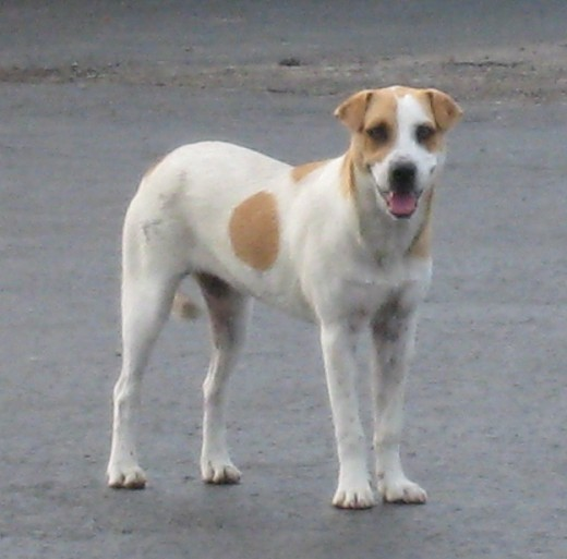 Stray dog at the place where Precious was spayed... I did get an email from someone who said she was looking for a dog matching this description...