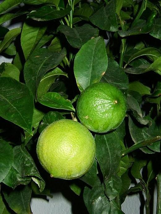 Ripening bergamot oranges