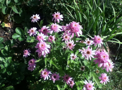 echinacea picture