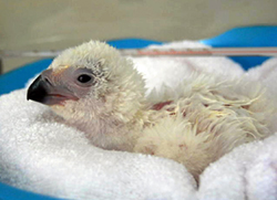 BABY Philippine Eagle hatched in Davao City at 6:12 p.m. on Sunday, March 7, 2010.  The chick  is the 23rd eaglet bred and born under the Philippine  PEF conservation breeding program.