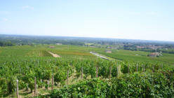 Beaujolais Vineyard