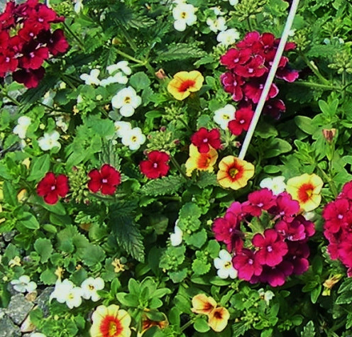 White Bacopa, Raspberry Verbena and Peach Calibrachoa Petunia