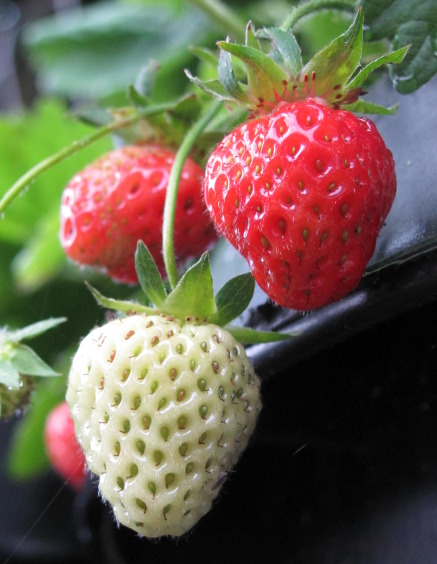 I remember the strawberries my father used to grow in his garden.  It took a lot of patience for them to appear, but once they did, it was rewarding to see them, pick them, and ultimately eat them!