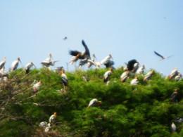 Nestled on trees - Kokrebellur