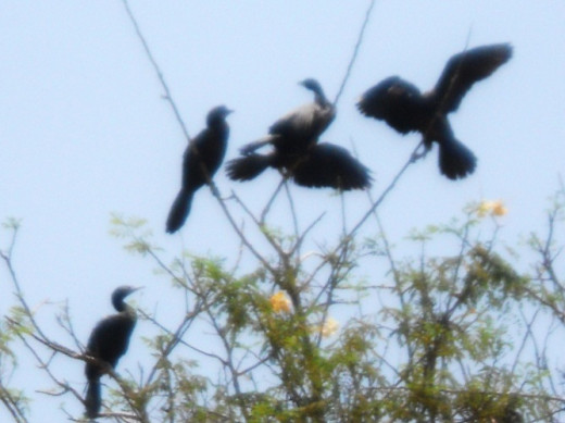 Little cormorants