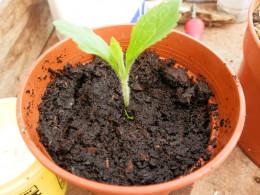 plant stevia cutting into compost mix