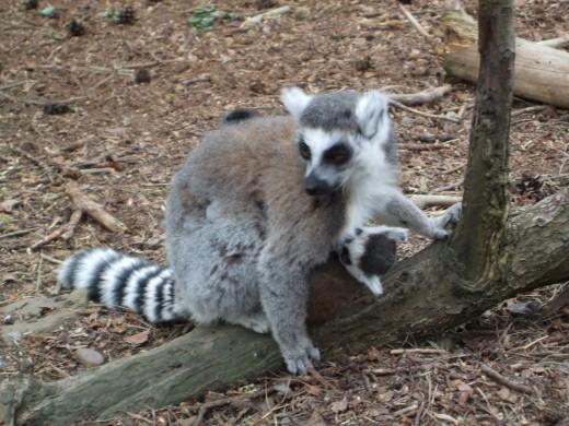 Lemur Land Doncaster Wildlife Park