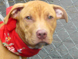Manhattan Center My name is KING. My Animal ID # is A0936088. A dog on death row.