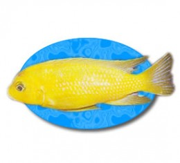 The male Kenyi Cichlid loses it's stripes as it matures and becomes a bright yellow color.