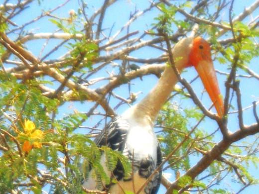 Nesting Painted Storks