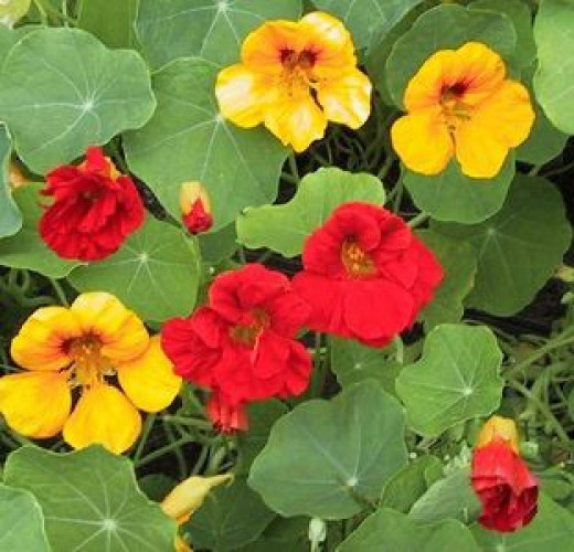 Edible Nasturtium, eaten since the Victorian times, and once known as Indian Cress: A beautiful feast for the eyes, as well as a tasty peppery salad.