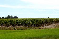 Chateaux Margaux Vineyard