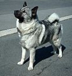 Norwegian Elkhound, history of a working dog breed, companion of vikings