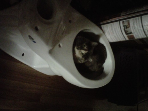 Cats want to help, but aren't very handy.  Here you see Sydney Vicious helping me install a new toilet during our bathroom remodel.