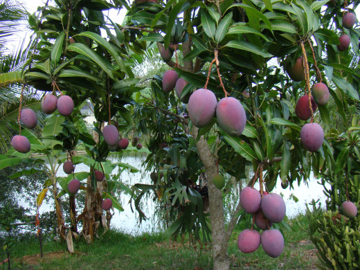alluring mangoes in Kerala, this is raw mango, not ripe mango, do you believe?