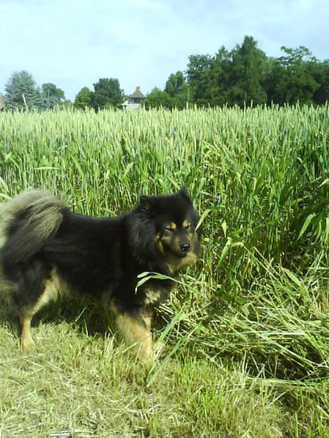 benda, wheat field
