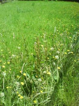 wild grass, wild flowers