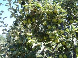 Apple Trees, Julian